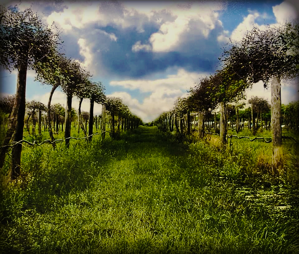 Picture of the Vineyard at The San Sebastian Winery
